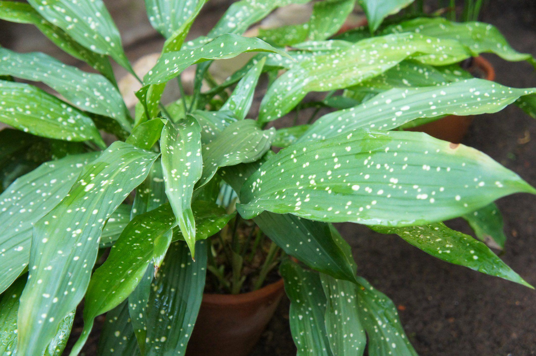 Schusterpalme Als Zimmerpflanze Das Haus Coole Pflanzen Pflanzen Zimmerpflanzen