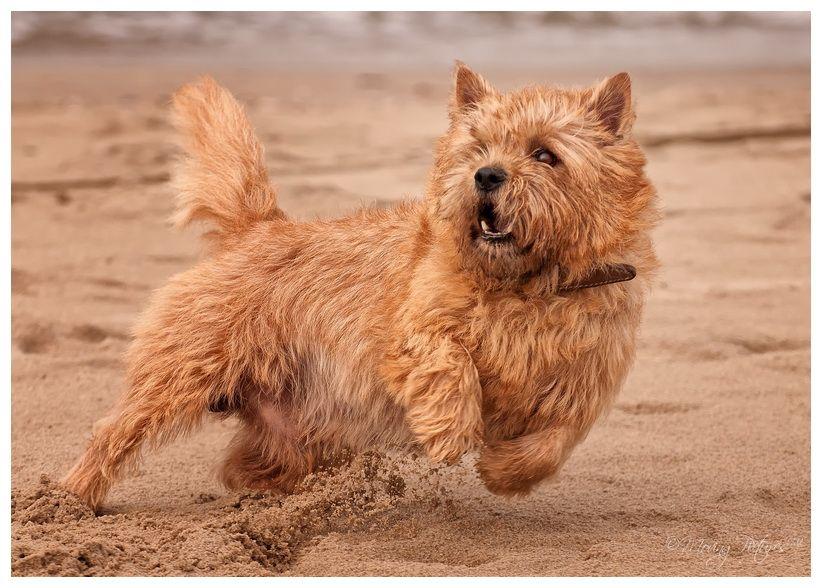 Beautiful Cairn Terrier Ball Adorable Dog - 51d409b1cca06f2fbd08fc47d4d76b55  Pictures_603969  .jpg