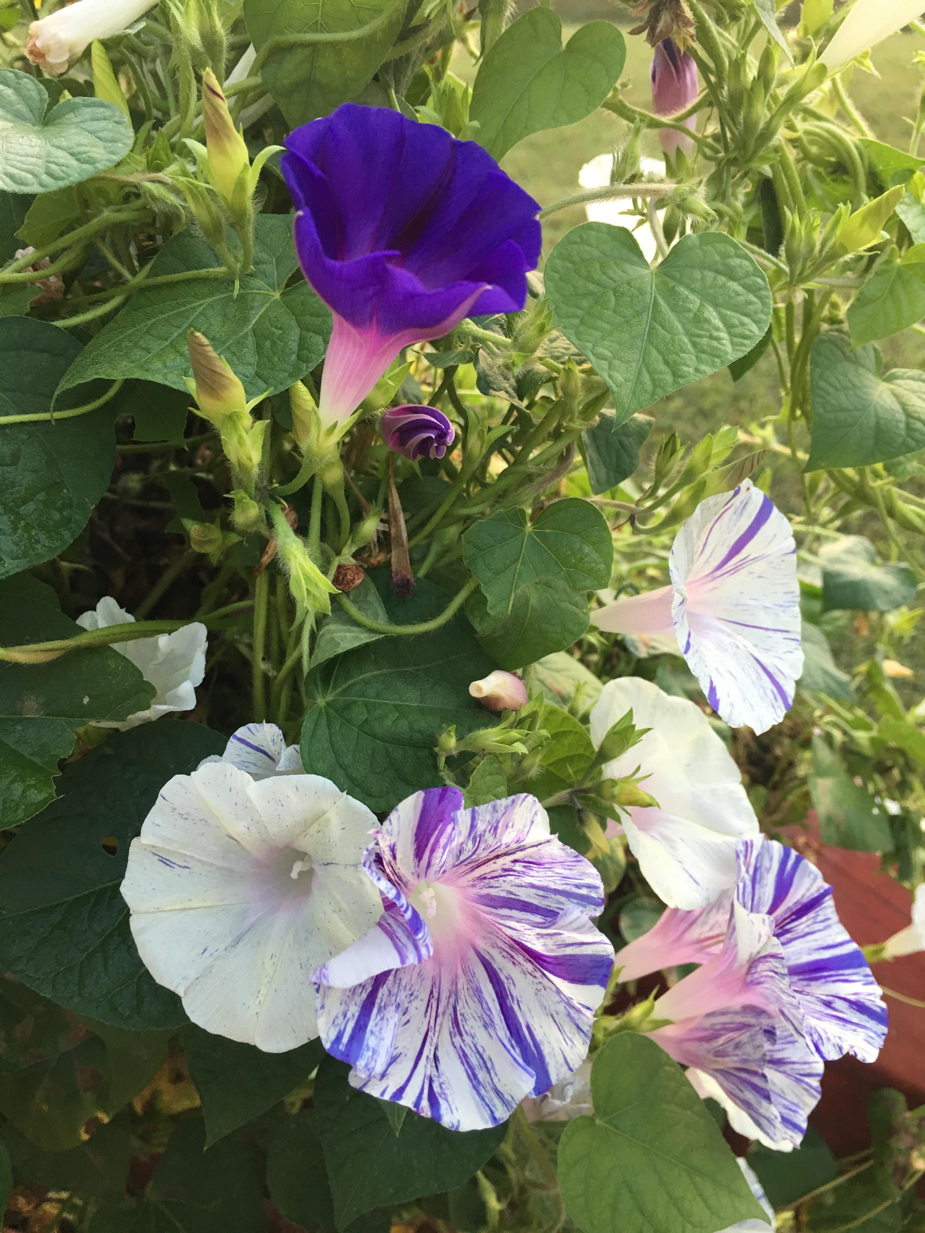 A Few Of My Morning Glory Flowers In My Front Flower Garden I Love The Color Mix Gardening Gard Morning Glory Flowers Flower Garden Design Climbing Flowers
