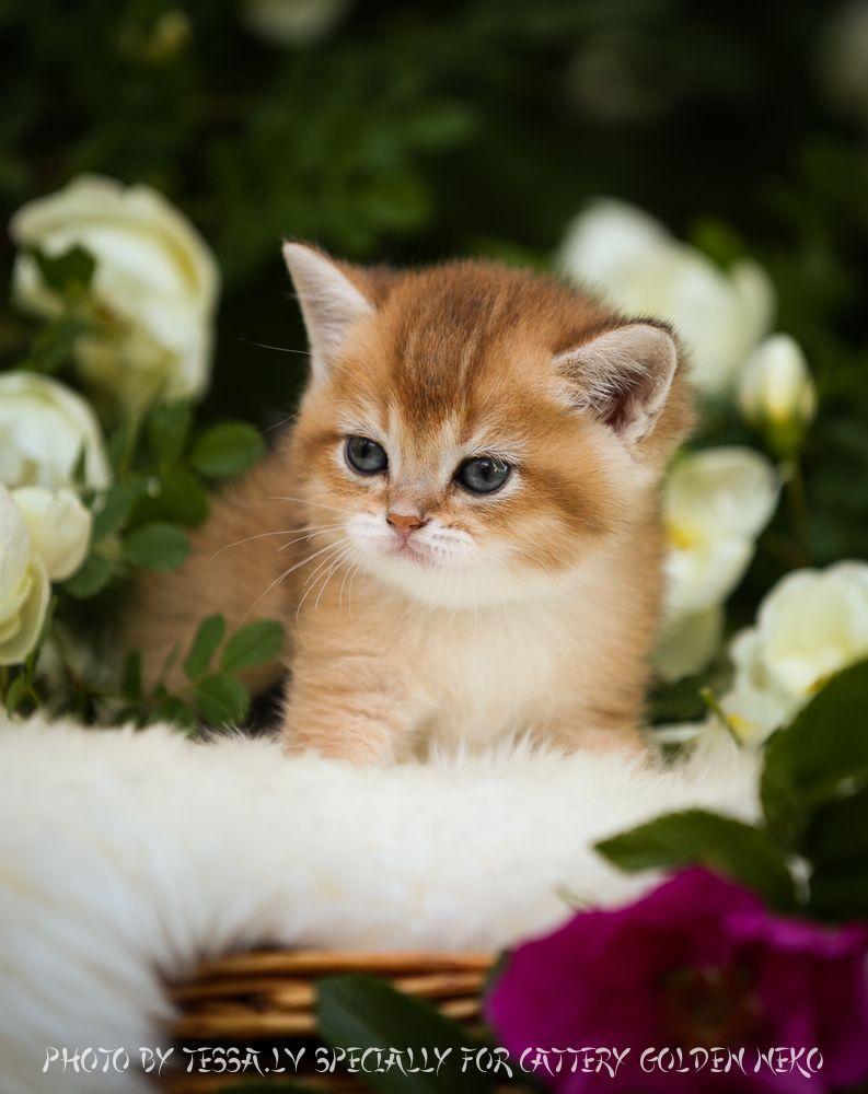 Scottish Folds and British Shorthair Kittens for Sale