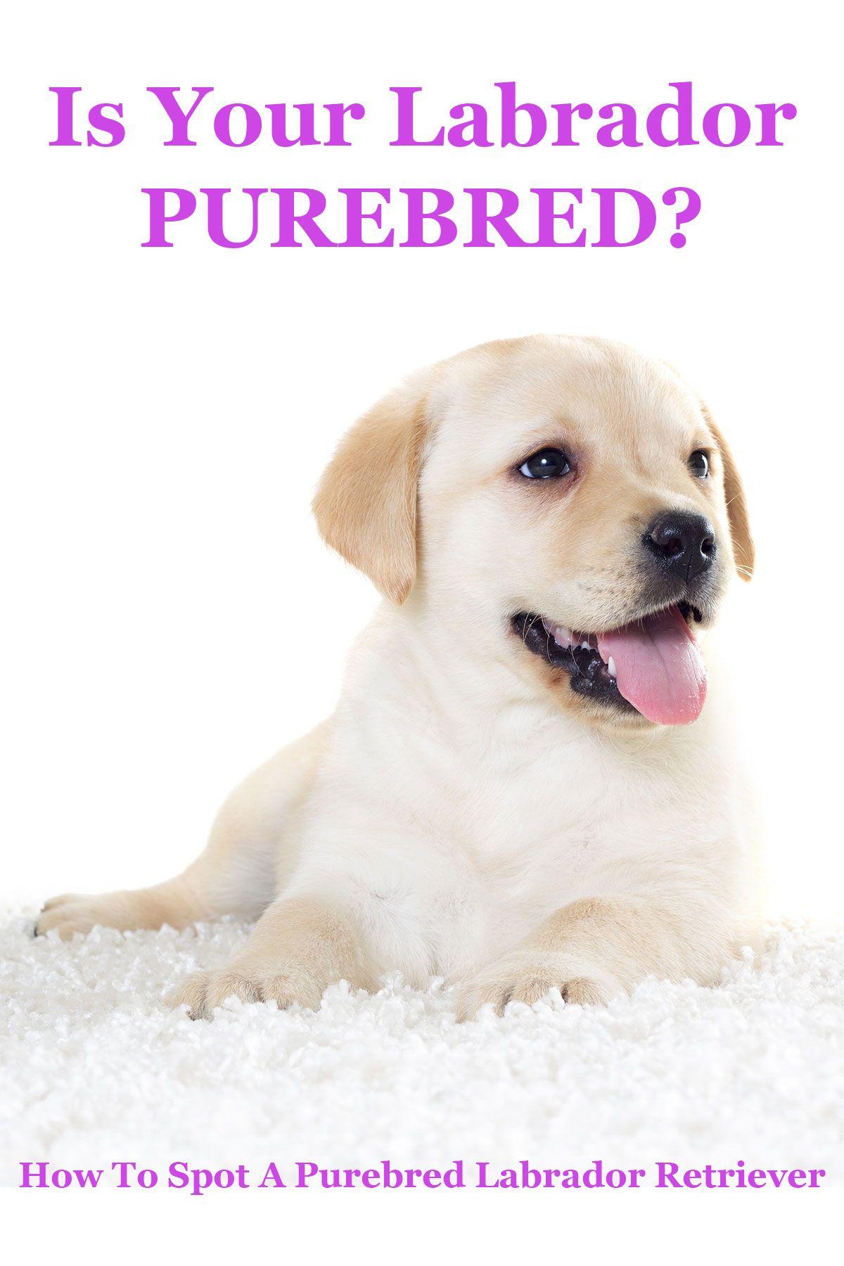 Is My Dog Purebred Labrador Dogs Labrador Retriever