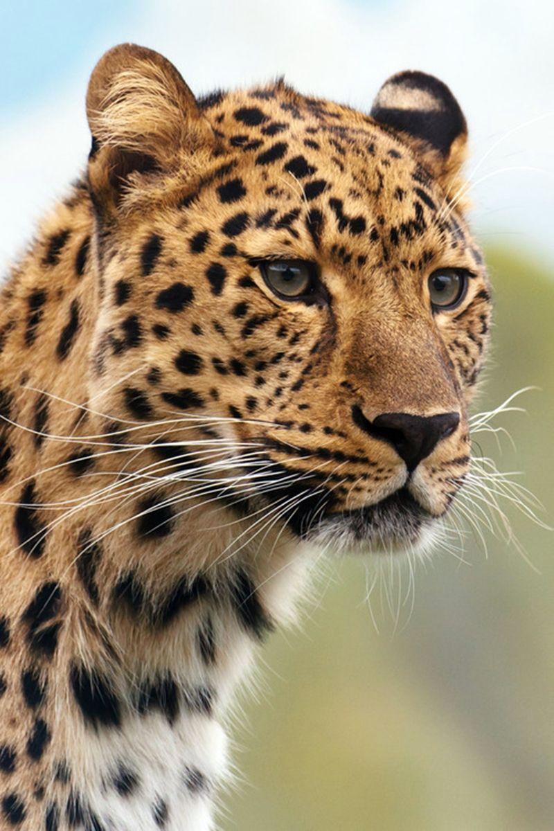 Leopard Wild cats, Big cats, Animals