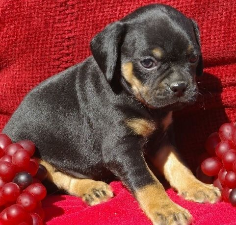 rottweiler pug mix pug and rottweiler so cute i want one somebody please for 1567