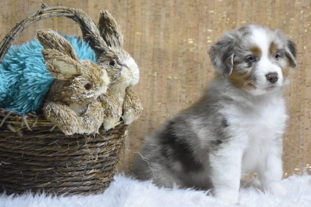 Dopey Blue Merle Miniature Australian Shepherd Pupper For Sale