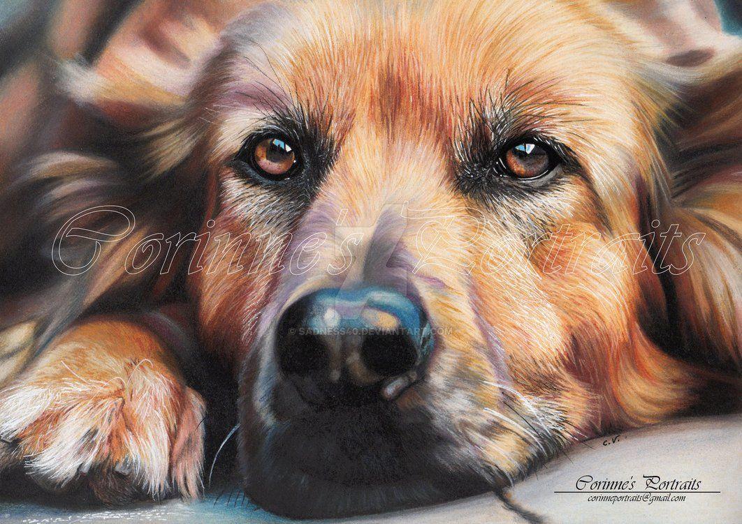 Coloured Pencil Of Portrait Of A Golden Labrador Portrait Au