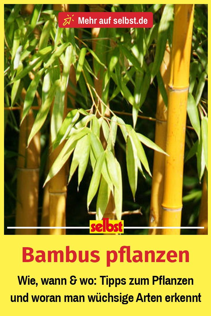 Bambus pflanzen Bambus pflanzen, Pflanzen und Bambus