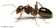 8 solutions naturelles pour chasser les fourmis Comment se débarrasser des fourmis à la maison? Que faire contre ces fourmis? Avec des solutions écologiques