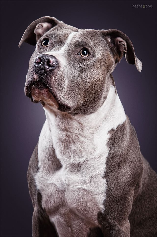 Portrait Of A Pitbull Linsensuppe Fotografie Pitbull Terrier Pitbull Welpen Hunderassen