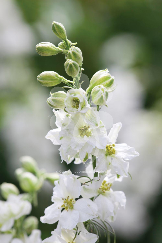 Consolida Ajacis White White Larkspur Larkspur Flower White Flowers