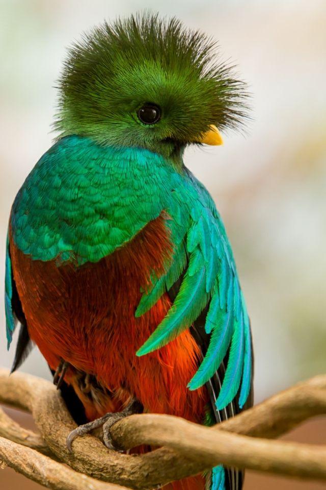 Quetzal Bird Flying Quetzal wallpaper 640x...