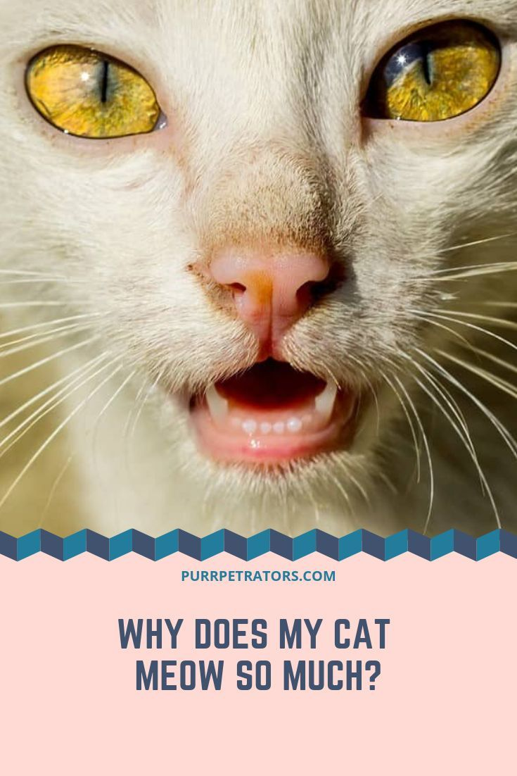 Why Does My Cat Meow So Much? Cats, Meows, Cats meow