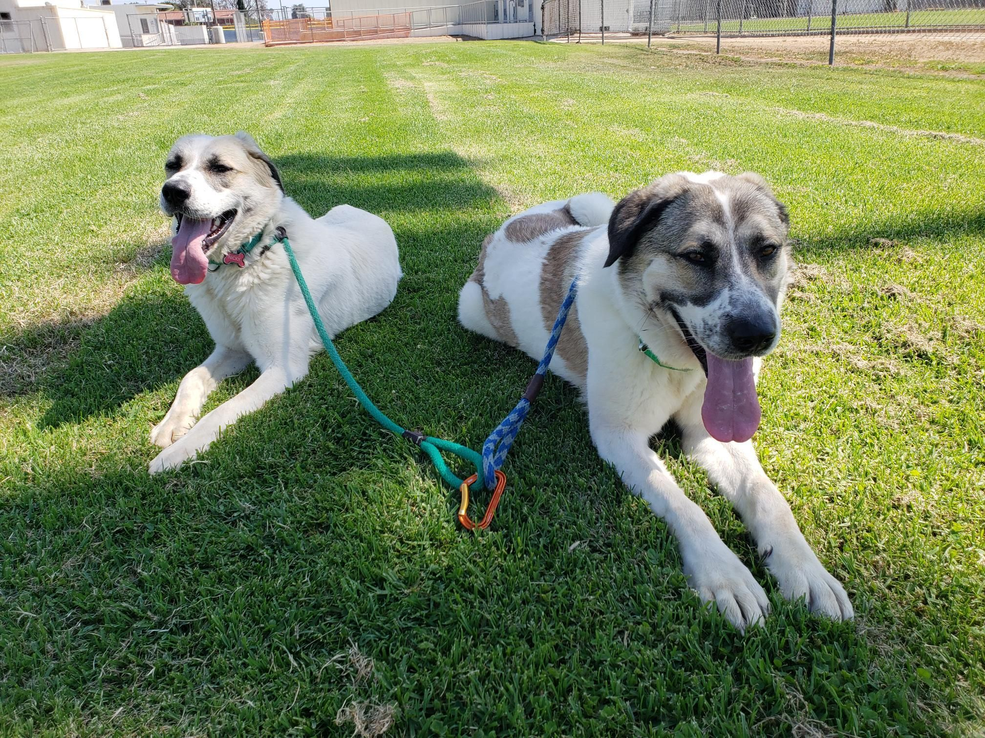 Adopt Sonny And Nicky On With Images Anatolian Shepherd Pet Adoption Pets