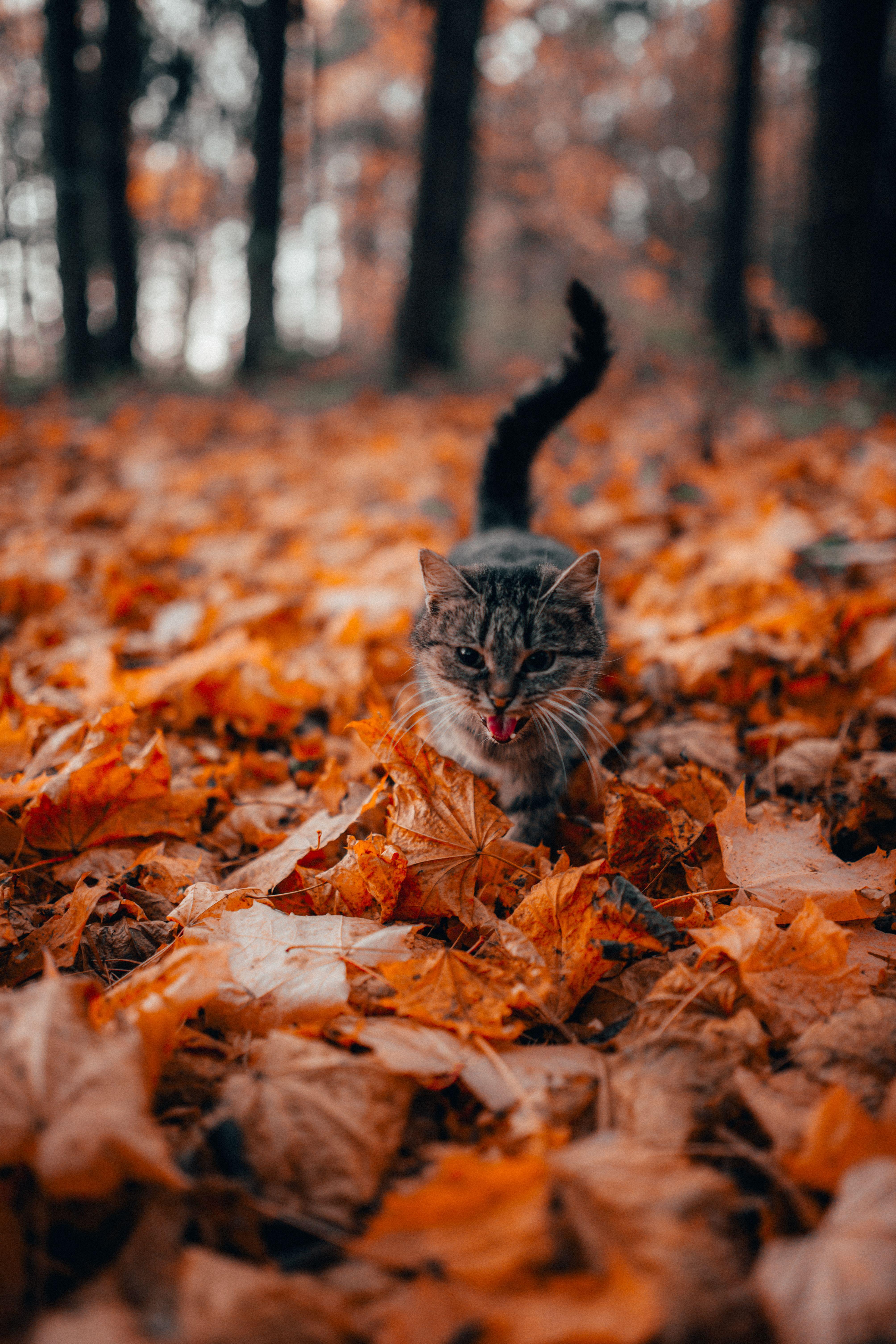 9 Formidable Kitten Appearance Gray Cat Walking On Fallen Leaves Plant Leaf Ground In 2020 Cats Cat Wallpaper Kitten Photos
