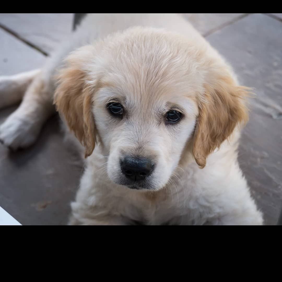 My Beautiful 9 Week Old Girl Poppy Goldenretriever Cute Dogs