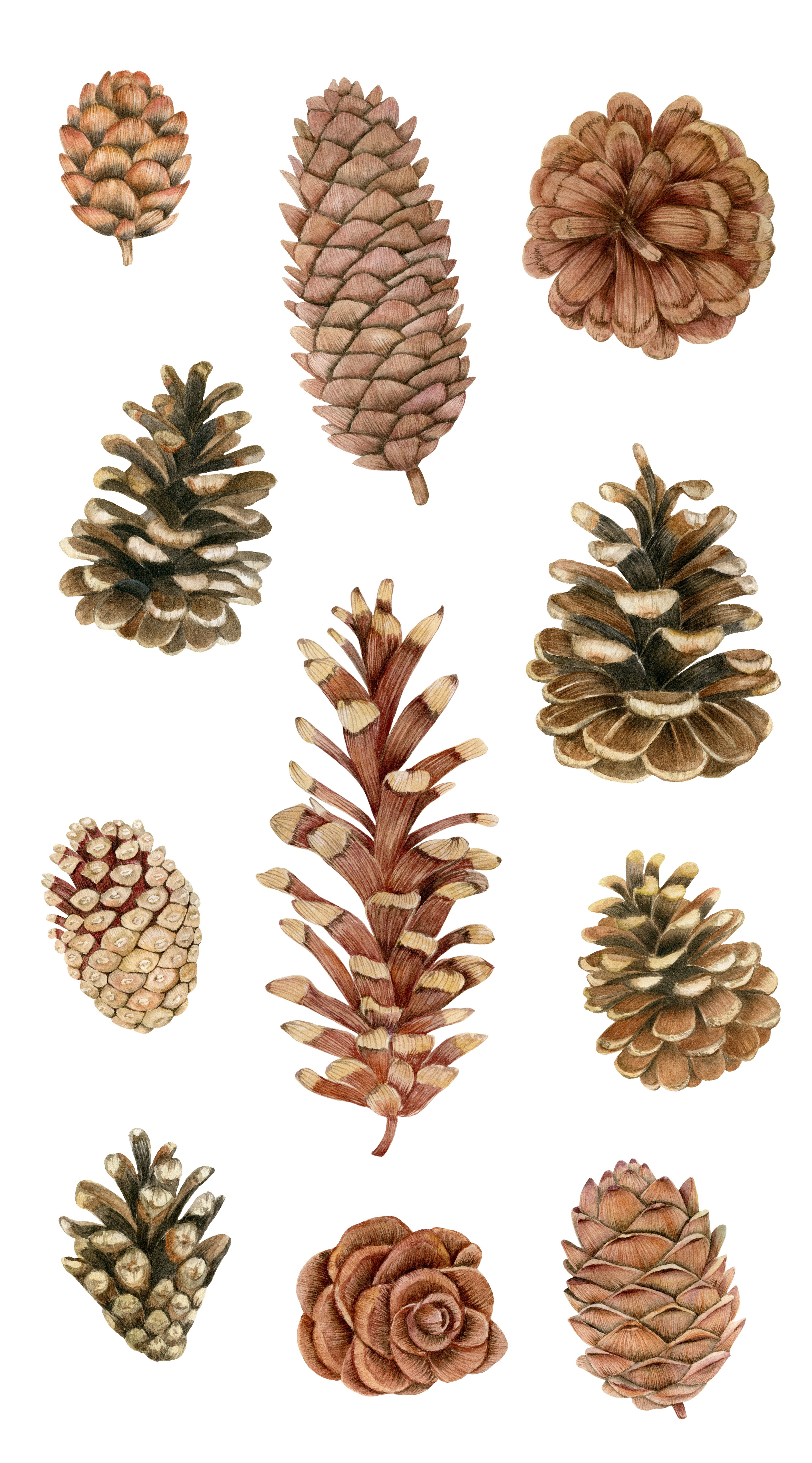 Watercolor Pine Cones And Branches Clipart Christmas Wreath Etsy Winter Watercolor Christmas Wreaths Clip Art