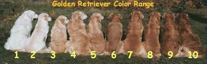 Golden Retriever Color Range Golden Retriever Colors Red