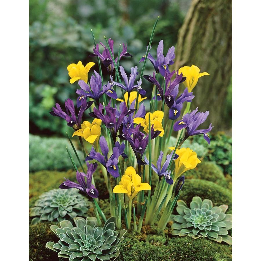 Garden State Bulb 20 Pack Iris Species Mixed Lb20139 Front Yard Plants Dwarf Iris Wildflower Garden