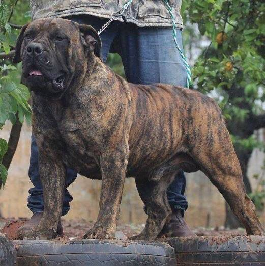 Beautiful Brindle Bred By Chris Boshoff Giant Dogs Mastiffs