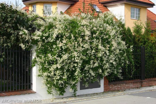 Pnacza Rosliny Wieloletnie Ktore Otula Twoj Ogrod Poznaj Zalety Pnaczy Murator Pl Outdoor Structures Outdoor Plants