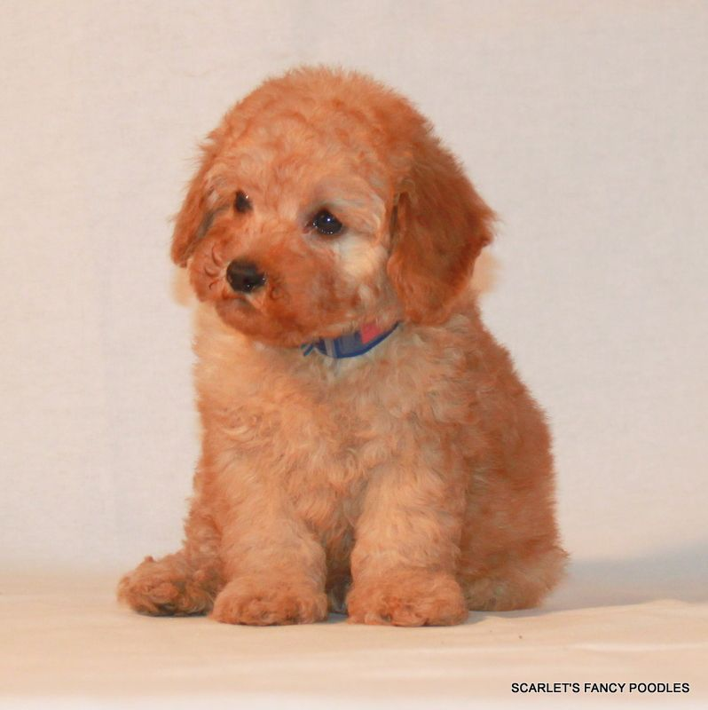 Apricot baby red poodle puppy poodle puppy poodle