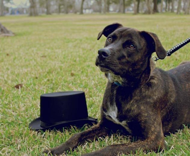 Adopt Milo ^ on Labrador retriever, Adoption, Pets
