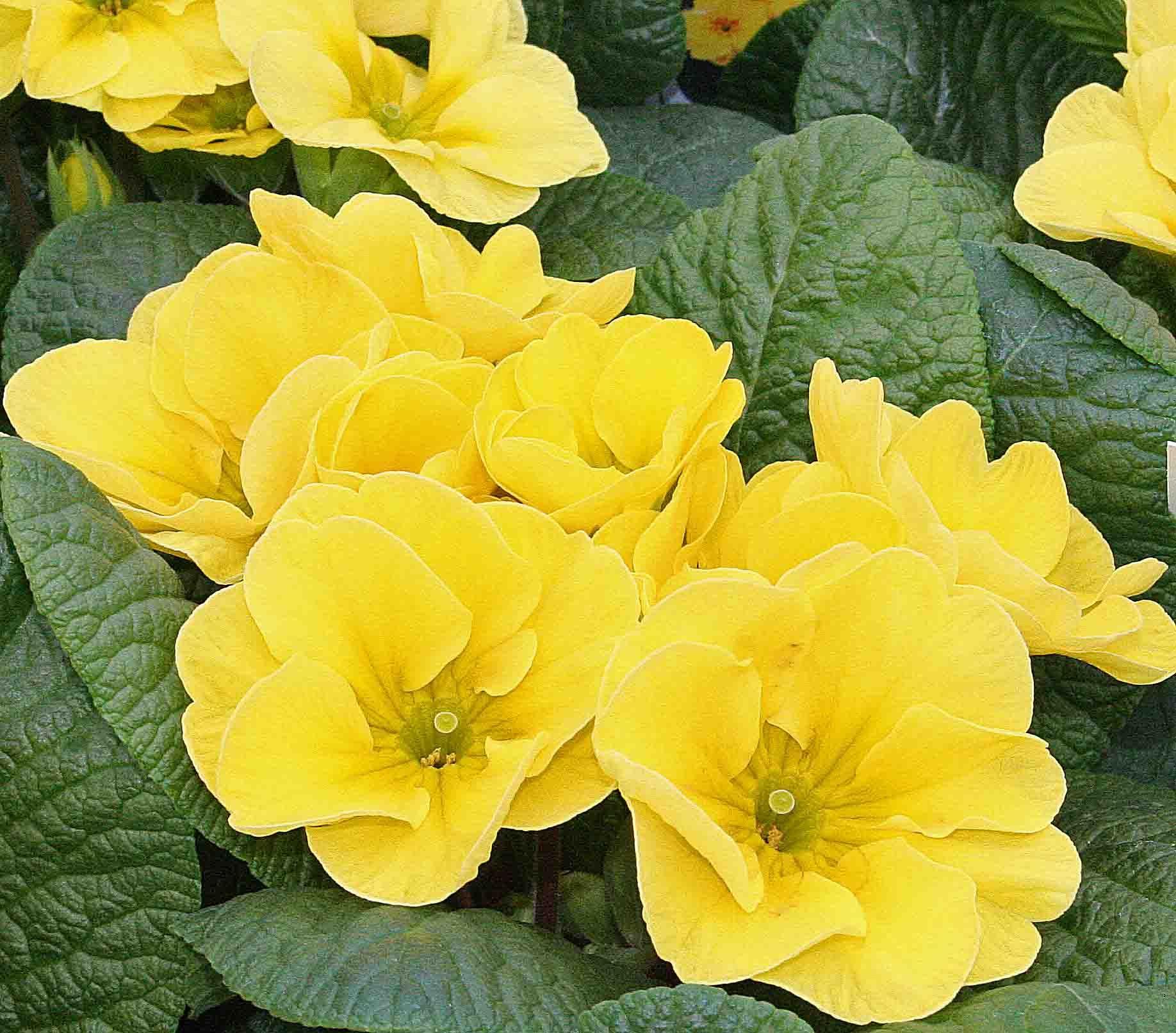 Primrose yellow hada googlom primrose yellow color trend primrose yellow hada googlom mightylinksfo