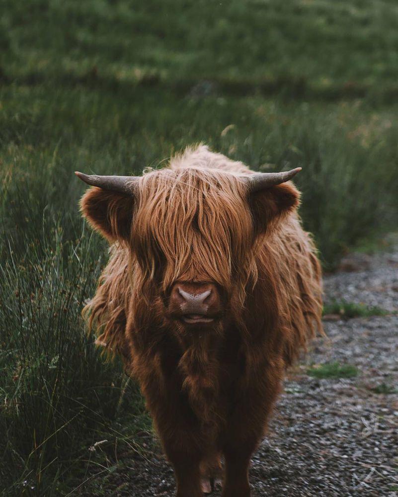 Meet Baldwin the highland cattle. by Michael Schauer on