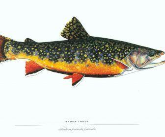 fish trout HD Wallpaper Fish, Aquarium fish, Trout