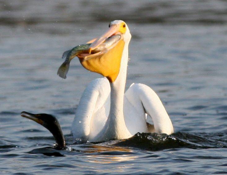 Images Of Different Species Of Pelicans Google Search Pelican Bird Pelican Bird Facts
