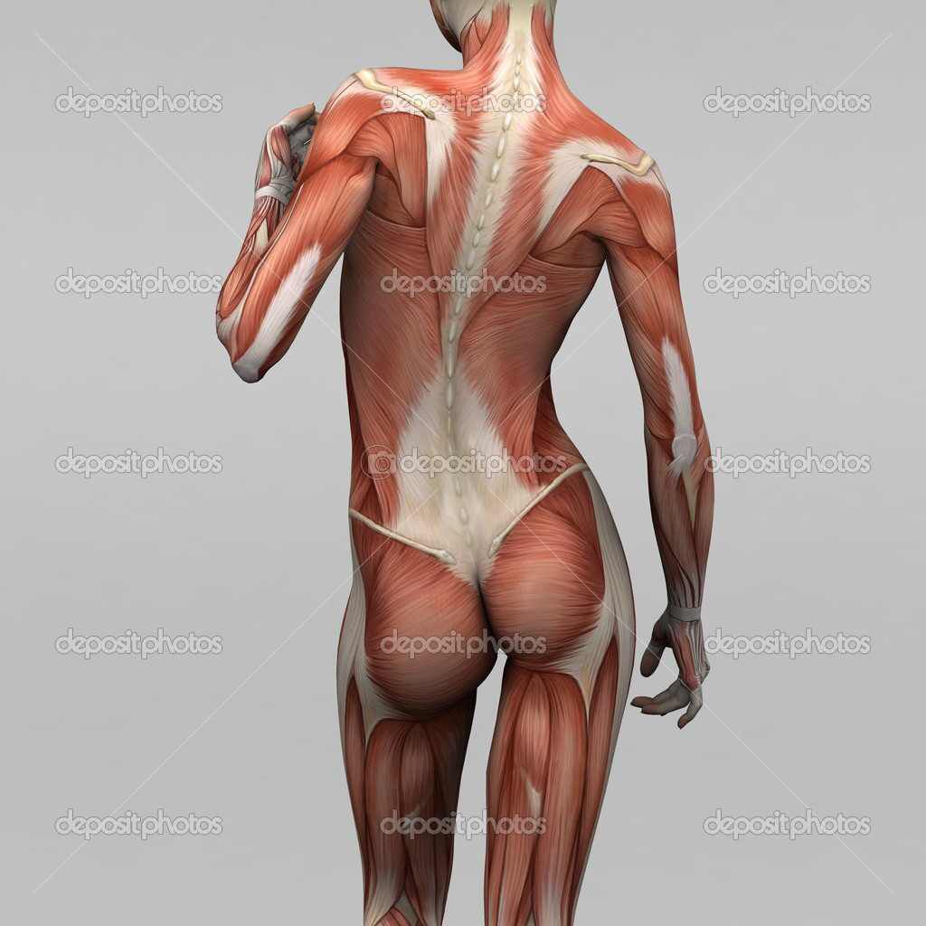 Pin By Titan Kaose On Anatomy Pinterest Human Full Body Muscle Diagram Woman Female Stock Photos Royalty Free Picture Of