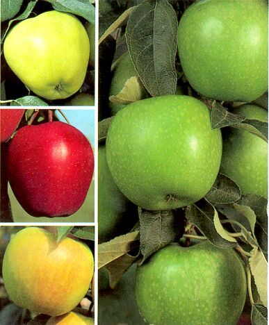 4 Or 5 In 1 Fruit Trees For Those Fruit Tree Lovers With Limited Space Grobe S Offers A Varied Selection Of Grafted Multip Apple Tree Apple Fast Growing Trees