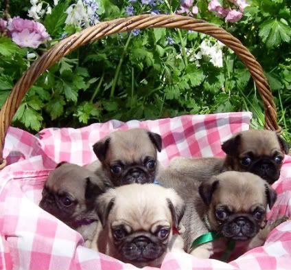 Guess What I Found In My Easter Basket Baby Pugs Pugs Funny
