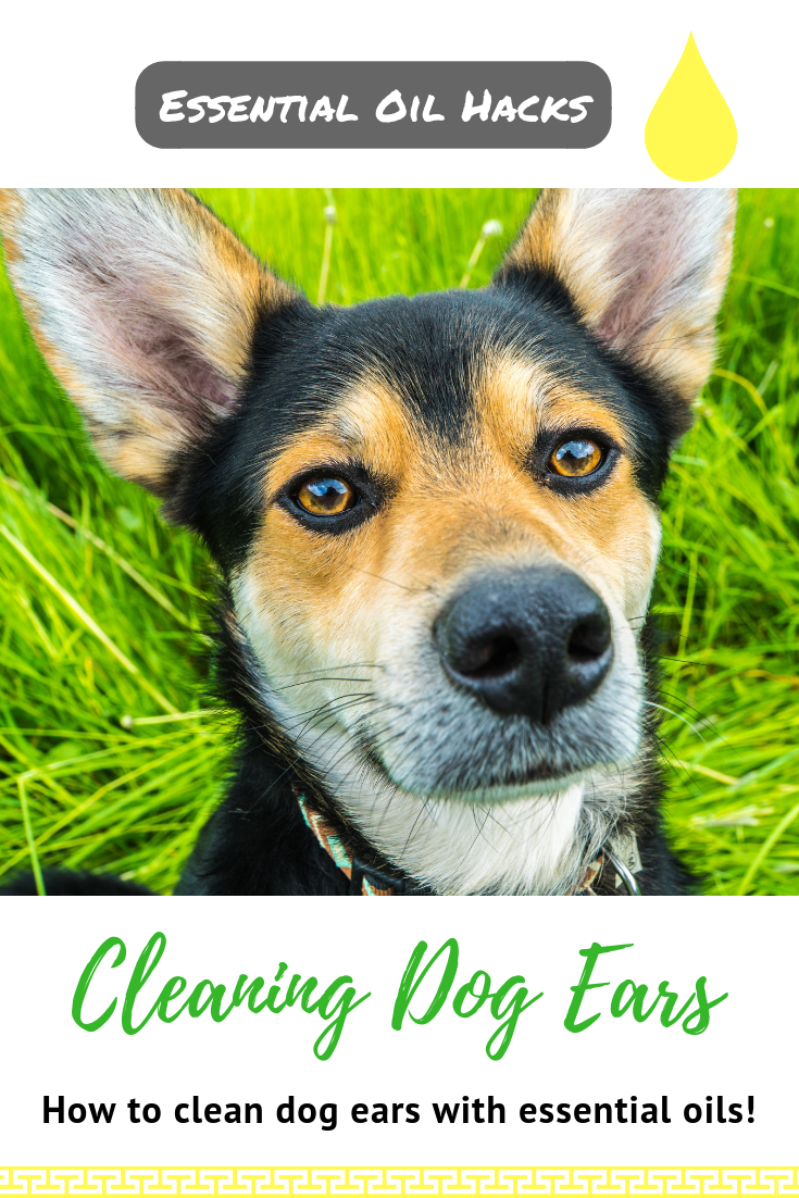 Making Homemade Ear Wipes for Your Dog Cleaning dogs