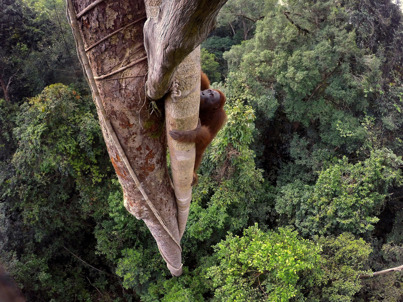 Bornean Orangutan (Pongo Pygmaeus) Climbing Over 30 Metres Up A