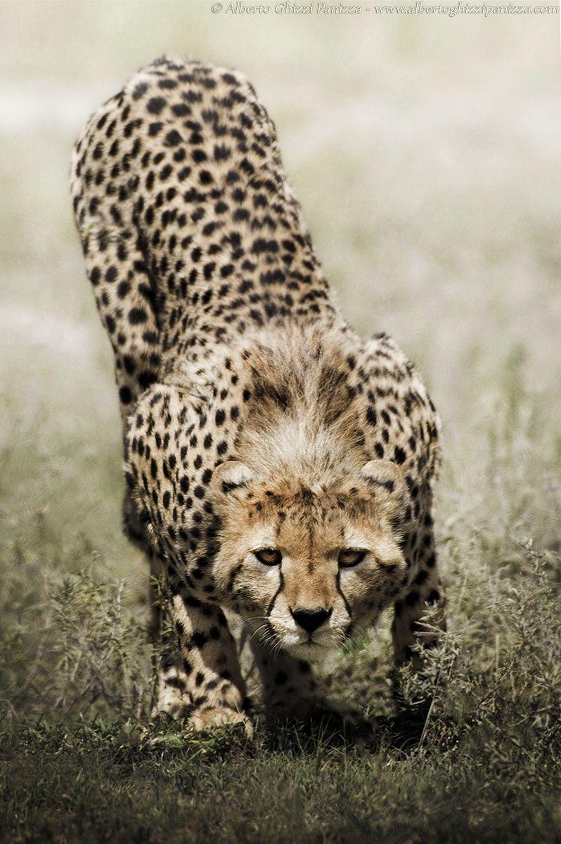 luipaard.