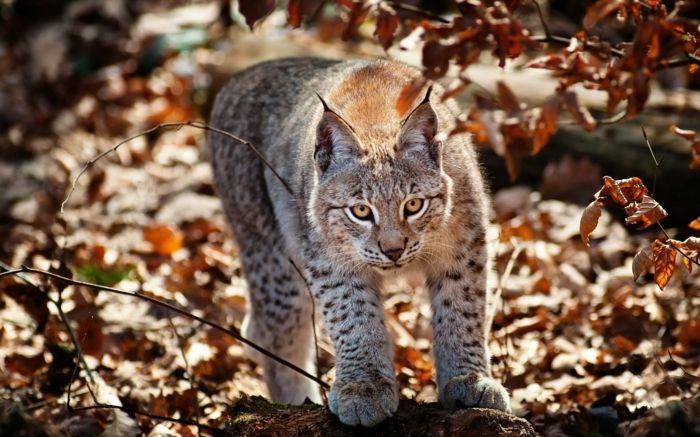 1001 Jolies Exemples D Images D Automne Pour Fond D Ecran Les Chats Sauvages Animales Animaux Beaux