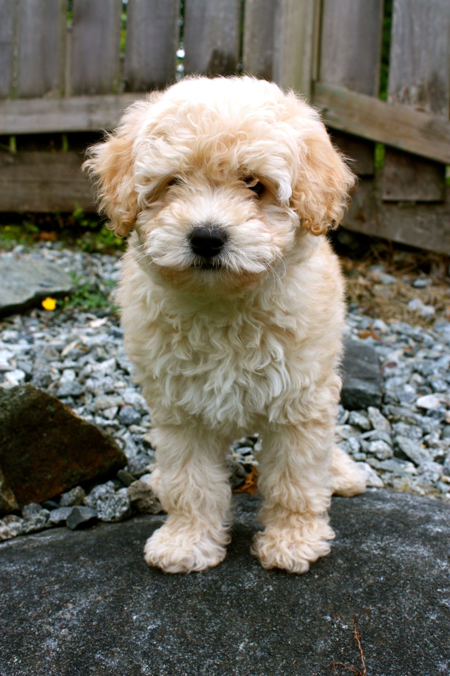 Whoodle Wheaton Terrier Poodle Mix Love Whoodle Puppy