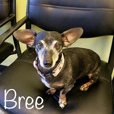 Los Angeles Ca Dachshund Meet Bree A Pet For Adoption