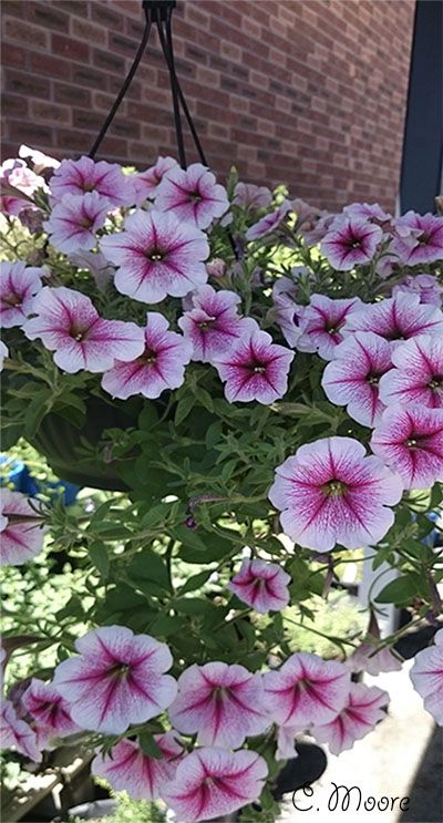 Petunia Care Easy Steps To Grow Petunias From Seeds To Flowers