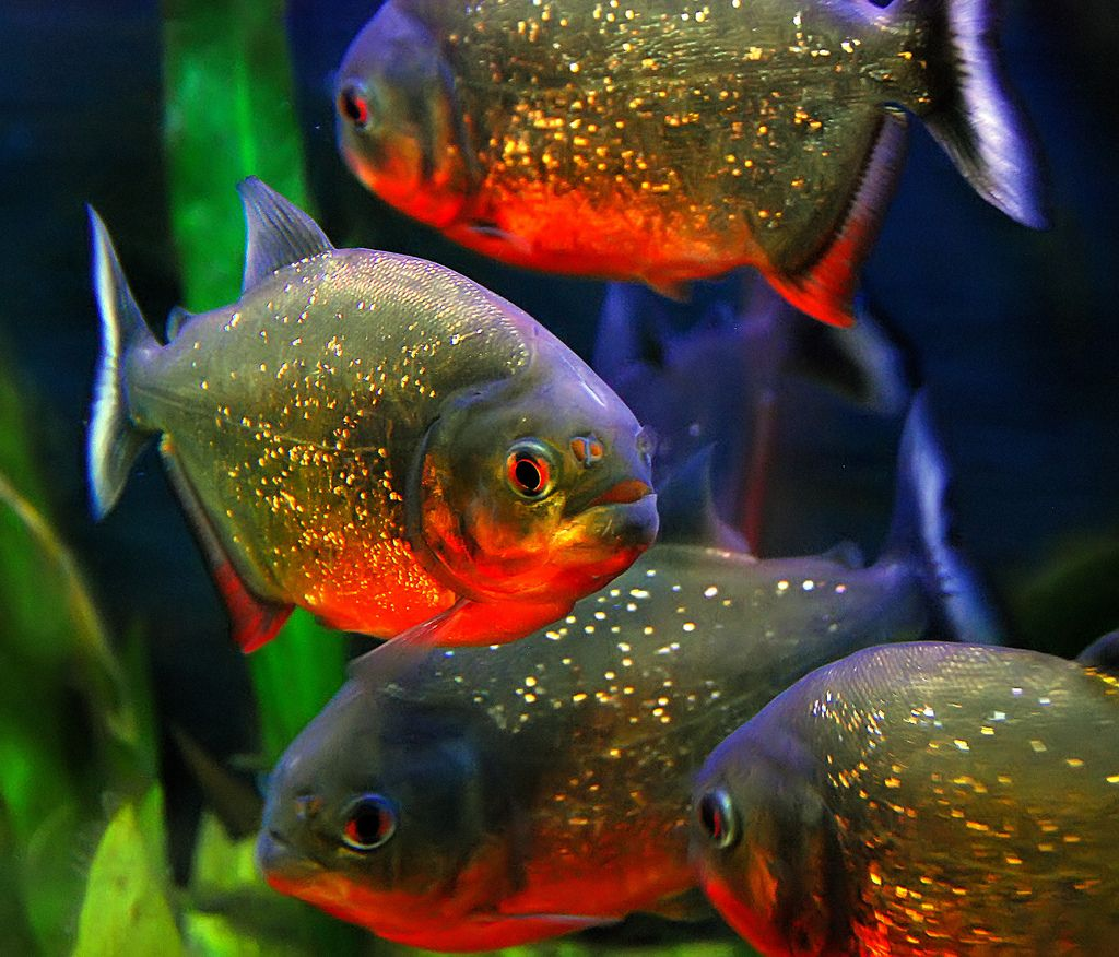 Freshwater aquarium fish piranha - Fish