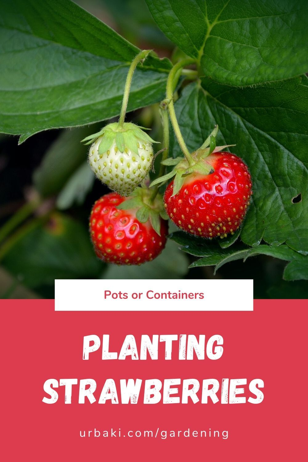 Planting Strawberries In Pots Or Containers In 2020 Strawberry Plants Strawberry Strawberries In Containers