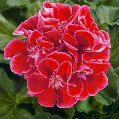 Geranium Zonal Spanish Wine Rose #geranium | Geraniums | Pinterest ...