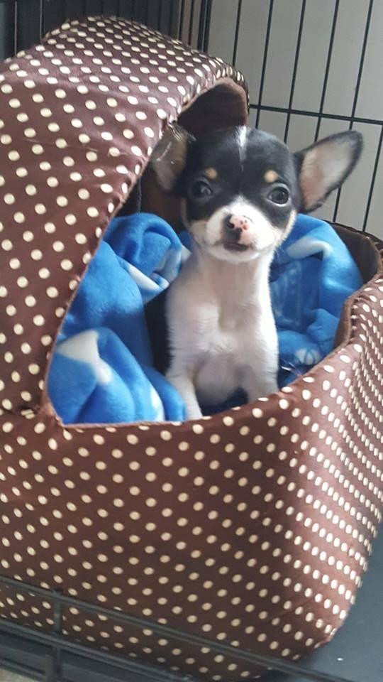 Dollarama Cat Bed 4 00 Ontario Chihuahua Puppies Cute