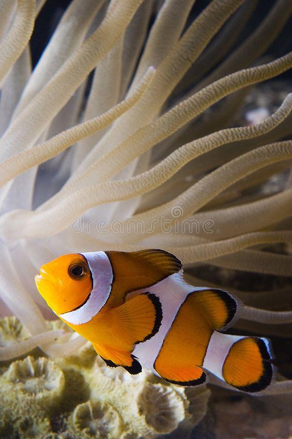 Clown Fish2 Image Of Clown Fish With Anemone Spon Image Clown Anemone Fish Clown Ad Clown Fish Beautiful Fish Pretty Fish