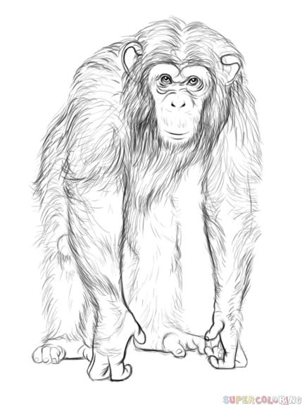 Afbeeldingen Aap Kleurplaat How To Draw A Chimpanzee Step By Step Drawing Tutorials