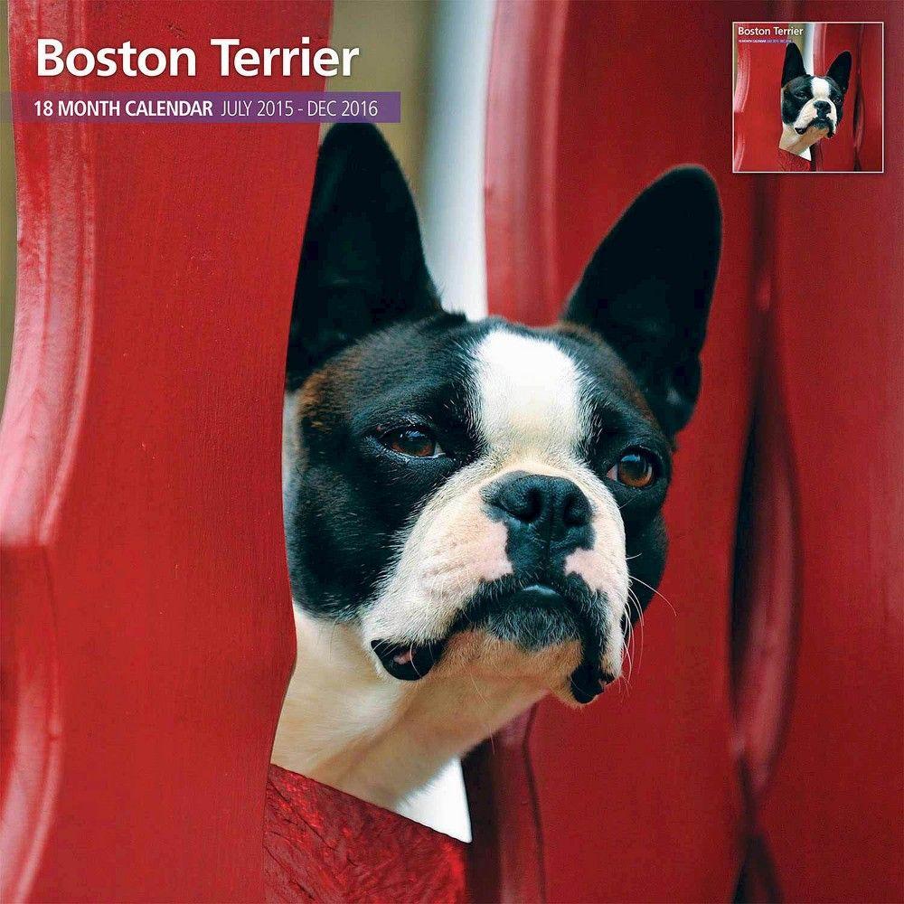 Boston Terrier 2016 Traditional