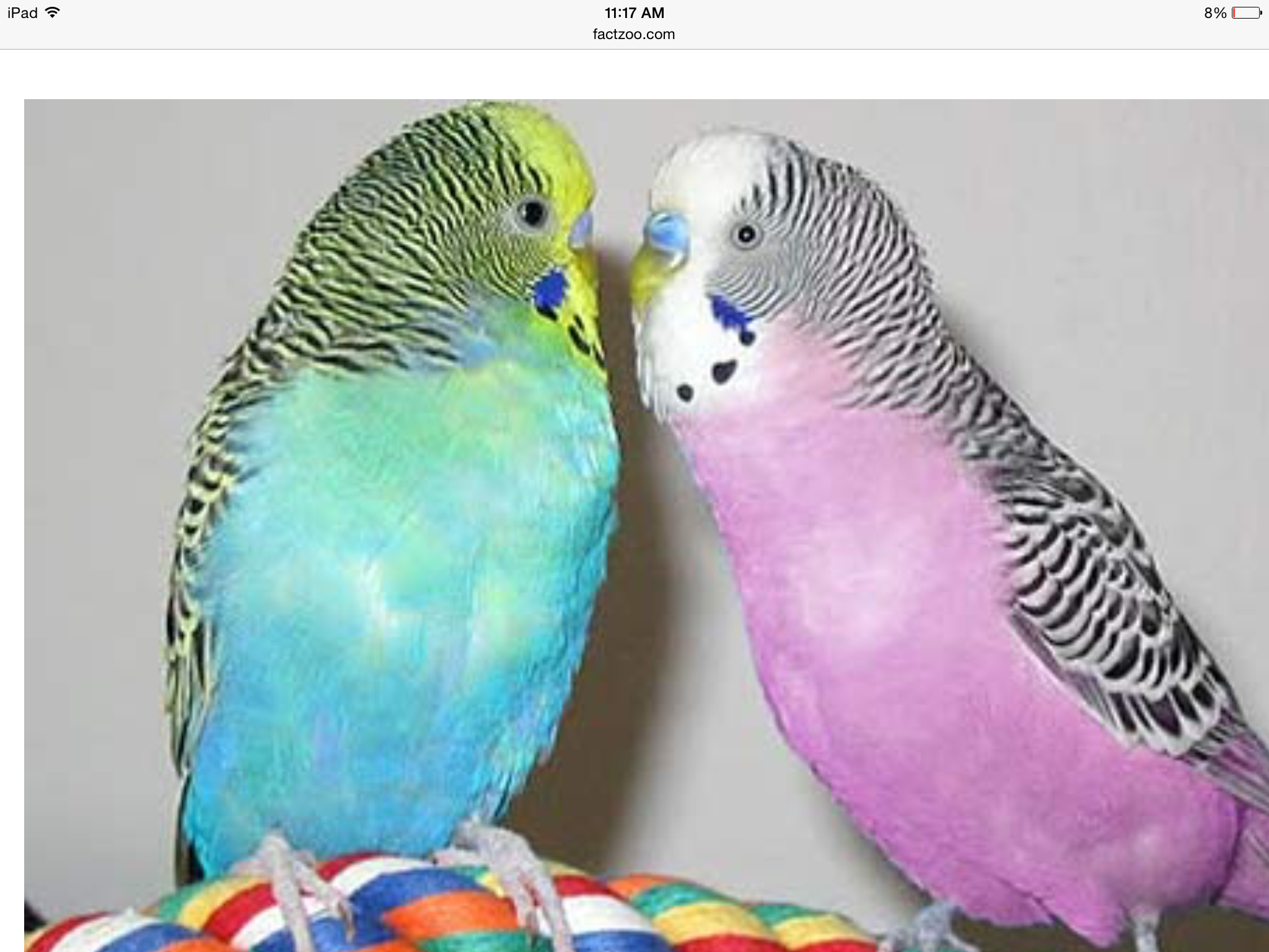 I've never had a pink one before! Budgies, Budgies bird