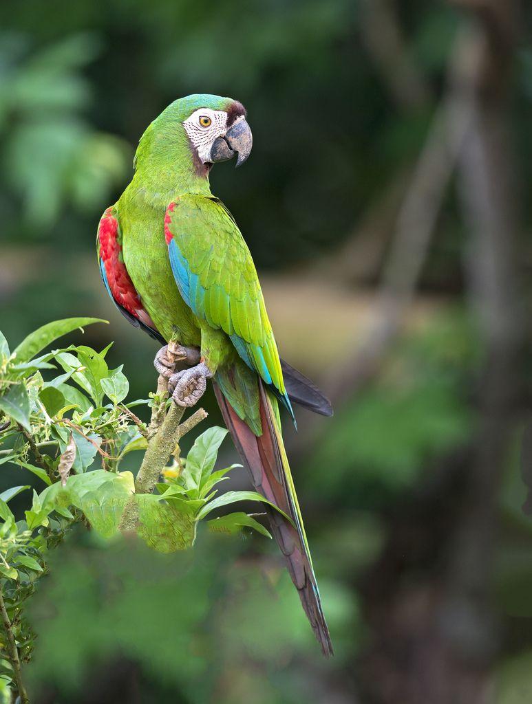 El maracaná grande o guacamayo severo (Ara severus) es un ave de la ...