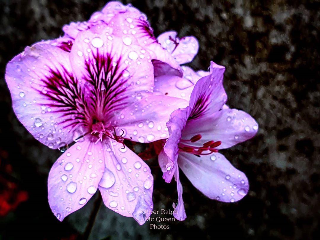Gocce #gocce #fioritura #geranio #fiori #floralprint #flower #flower_shotz #flower_daily #flowerstagram #flowery #flowers_super_pics #spring #spring2020 #primavera #primavera2020 #drops #pink #pinkcolour #nature_good #natureofinstagram #natures_hub #frame #framedbynature #dettagli #details #nature_perfect_day