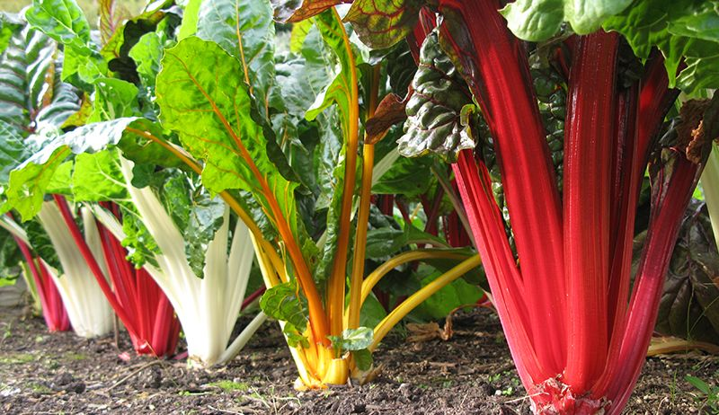 7 Tips For Succession Planting This Summer Swiss Chard 400 x 300